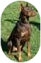 Doberman Pinscher Dog for adoption in Arlington, Virginia - Austin