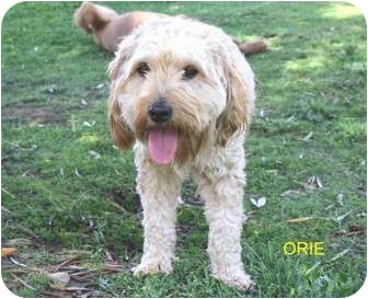 Poodle (Miniature)/Wirehaired Fox Terrier Mix Dog for adoption in Los Angeles, California - Orie