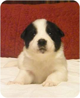 Great Pyrenees Mix Puppy for adoption in Tulsa, Oklahoma - Payden Pending Adoption ft ril