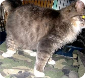 Maine Coon Cat for adoption in Dallas, Texas - Fennel