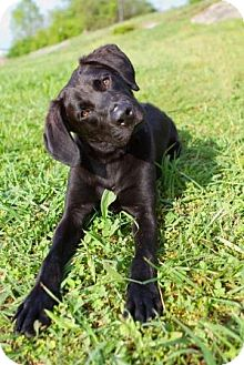 Labrador Retriever Mix Dog for adoption in Knoxville, Tennessee - Coal