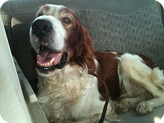 Irish Setter Mix Dog for adoption in Minnetonka, Minnesota - Murphy