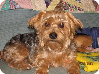 Silky Terrier Mix Dog for adoption in Naugatuck, Connecticut - Toby