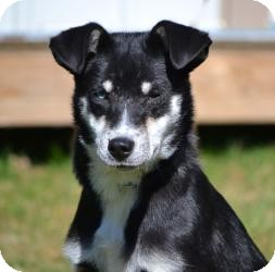 Siberian Husky/Shepherd (Unknown Type) Mix Dog for adoption in Lincolnton, North Carolina - Bobby