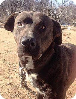 American Pit Bull Terrier/Labrador Retriever Mix Dog for adoption in Blanchard, Oklahoma - Charlie