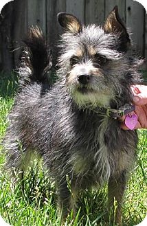 Terrier (Unknown Type, Small) Mix Dog for adoption in Mission Viejo, California - SOPHIA