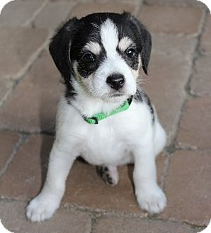 Beagle/Cocker Spaniel Mix Puppy for adoption in La Habra Heights, California - Skittles