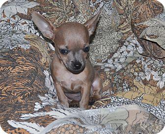 Chihuahua Mix Puppy for adoption in Tumwater, Washington - Cali