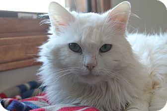 Domestic Longhair Cat for adoption in Naperville, Illinois - Blizzard