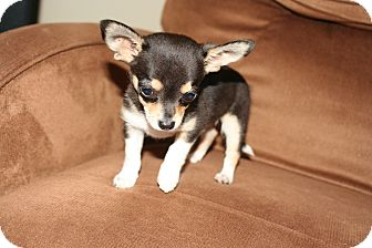 Chihuahua/Chihuahua Mix Puppy for adoption in Umatilla, Florida - Joseph
