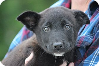 Husky/Shepherd (Unknown Type) Mix Puppy for adoption in Hershey, Pennsylvania - Travolta