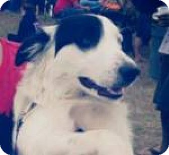 Border Collie Dog for adoption in WAterford, Wisconsin - Miley-Adoption Pending