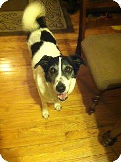 Labrador Retriever/Border Collie Mix Dog for adoption in North Brunswick, New Jersey - Leslie