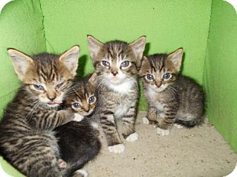 Domestic Mediumhair Kitten for adoption in Englewood, Colorado - KITTENS