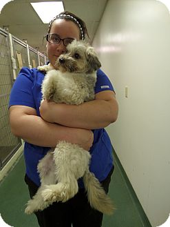 Poodle (Miniature)/Schnauzer (Miniature) Mix Dog for adoption in Paris, Illinois - Sparky