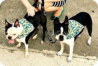 Boston Terrier Dog for adoption in Greensboro, North Carolina - Tank