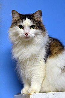 Domestic Longhair Cat for adoption in Atlanta, Georgia - Estess 14184
