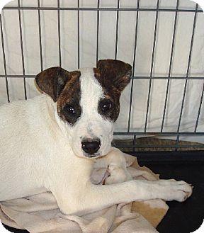 American Bulldog Mix Puppy for adoption in Las Vegas, Nevada - Luke