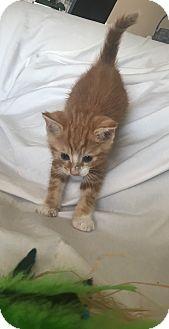 Domestic Shorthair Kitten for adoption in Wayne, New Jersey - Noah