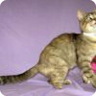 Domestic Shorthair Cat for adoption in Powell, Ohio - Trinity
