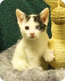 American Shorthair Kitten for adoption in Rochester, New York - Patches