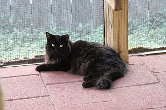 Maine Coon Cat for adoption in Round Rock, Texas - Black Magic