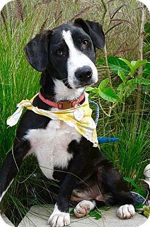 Labrador Retriever/Basset Hound Mix Puppy for adoption in Corona, California - ROSIE