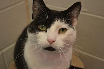 Domestic Shorthair Cat for adoption in Akron, Ohio - Ferrara *Special Adoption Fee
