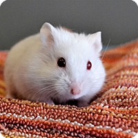 Hamster for adoption in Michigan City, Indiana - Curly
