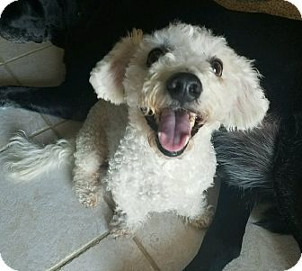 Bichon Frise Dog for adoption in Mary Esther, Florida - Charlie