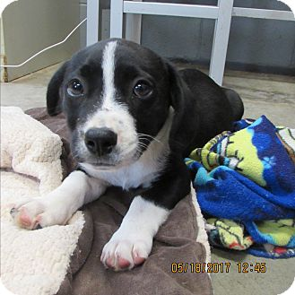 Corgi/Collie Mix Puppy for adoption in BLACKWELL, Oklahoma - Jasper