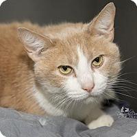 Domestic Shorthair Cat for adoption in Waynesboro, Pennsylvania - Pretty Boy