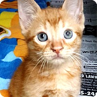 Domestic Shorthair Kitten for adoption in Key Largo, Florida - Cheetos