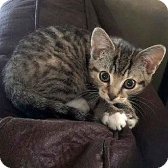 Domestic Shorthair Kitten for adoption in Arlington, Virginia - Xia and Xander