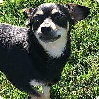 Adopt A Pet :: Shonuff AKA Brewster - Joliet, IL