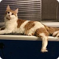 Adopt A Pet :: Sir Toffee - Philadelphia, PA