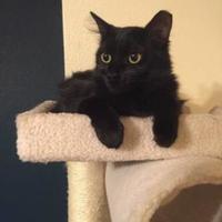 Domestic Longhair/Domestic Shorthair Mix Cat for adoption in Austin, Texas - Luna