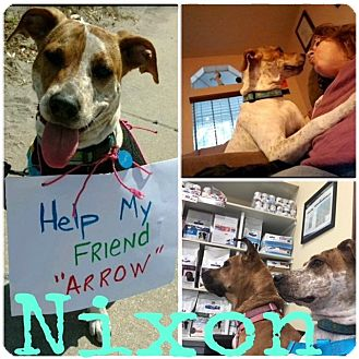 Pointer Mix Dog for adoption in Pinellas Park, Florida - Nixon