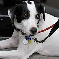 Hound (Unknown Type)/Labrador Retriever Mix Dog for adoption in Brooklyn, New York - Jessica Jones
