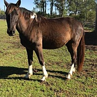 Adopt A Pet :: Samuel (Horse) - Freeport, FL