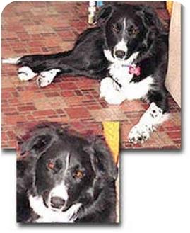 Border Collie Dog for adoption in Stephentown, New York - Jody