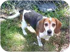 Beagle Dog for adoption in Portland, Ontario - Oliver