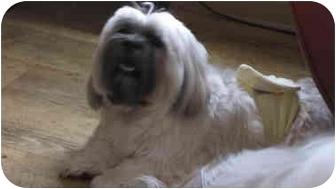 Lhasa Apso Dog for adoption in Everett, Pennsylvania - Rocky