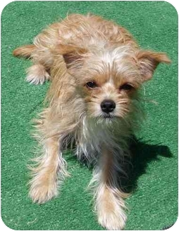 Terrier (Unknown Type, Small) Mix Puppy for adoption in Orange, California - Niles