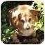 Photo 1 - Dachshund/Corgi Mix Dog for adoption in Salem, Oregon - Slim Bob