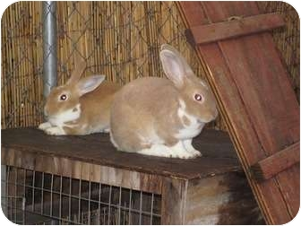 Mini Rex Mix for adoption in Lewisville, Texas - Ginger