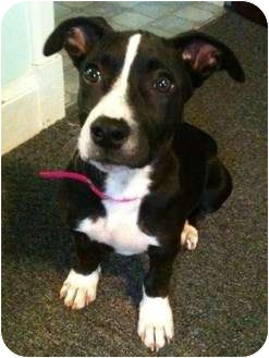 Hound (Unknown Type)/American Pit Bull Terrier Mix Puppy for adoption in Worcester, Massachusetts - Roxy