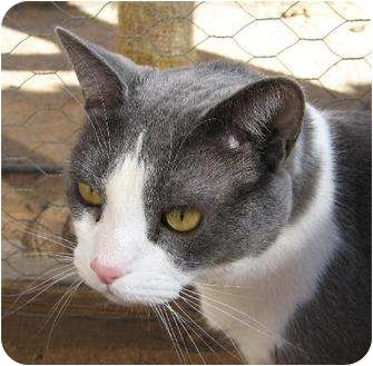 Domestic Shorthair Cat for adoption in Las Cruces, New Mexico - Grady