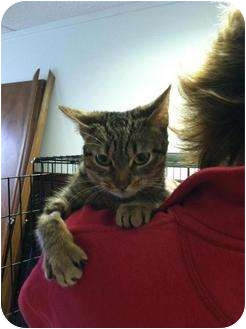 Domestic Shorthair Cat for adoption in Hamburg, New York - Rootie
