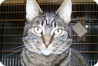 Domestic Shorthair Cat for adoption in Grants Pass, Oregon - El Gato